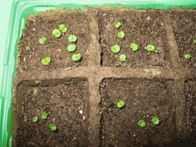 сходять насіння