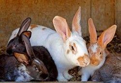 Розведення кролів
