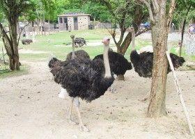 Розводити страусів цікаво і вигідно