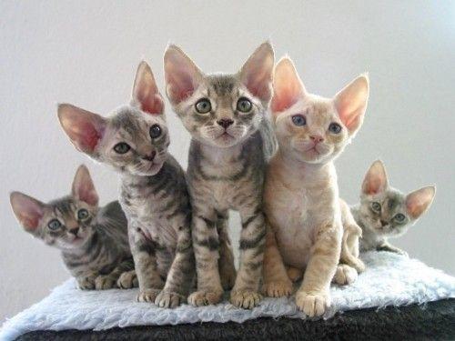Рідкісні породи кішок