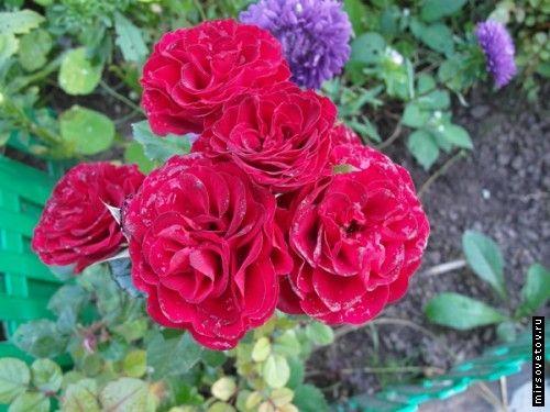 Троянди, посадка і догляд