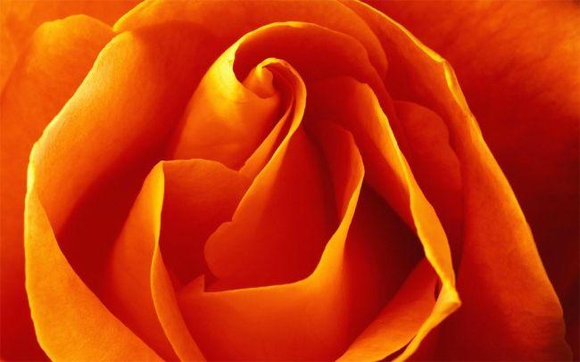 Троянди: догляд, розмноження і вирощування