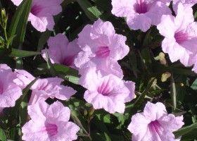Руеллія - вирощування квітки будинку або офісі