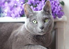 Російська блакитна кішка: поради по догляду