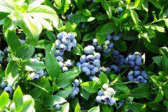 Садова лохина: як вирощувати і доглядати за нею