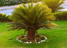 сагова пальма