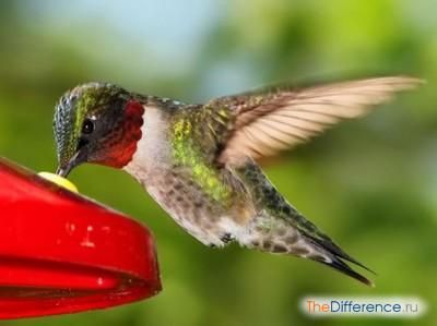 Найменша птах у світі