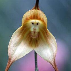Сама незвичайна орхідея з мавпячої мордочкою