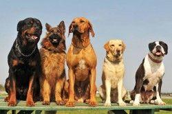 Найбільші породи собак