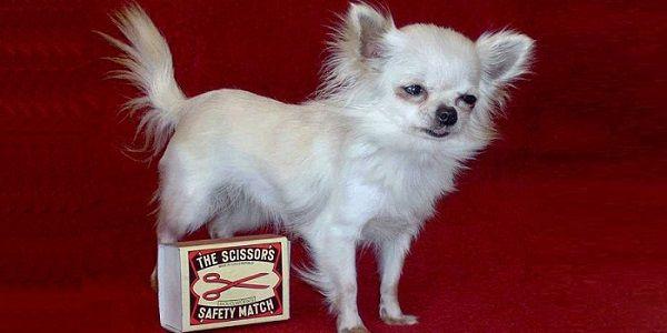 Найменші собаки в світі