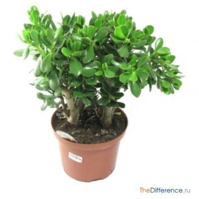 які кімнатні рослини самі невибагливі