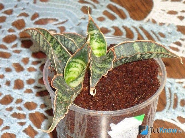 Молодий росток сансевиерии