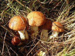Їстівні гриби - корисно або шкідливо?