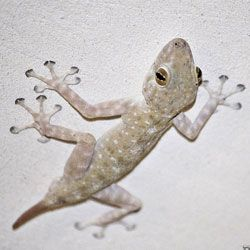 Секрет клейкості лапок ящірок розкритий