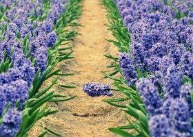 Секрети вирощування гіацинтів
