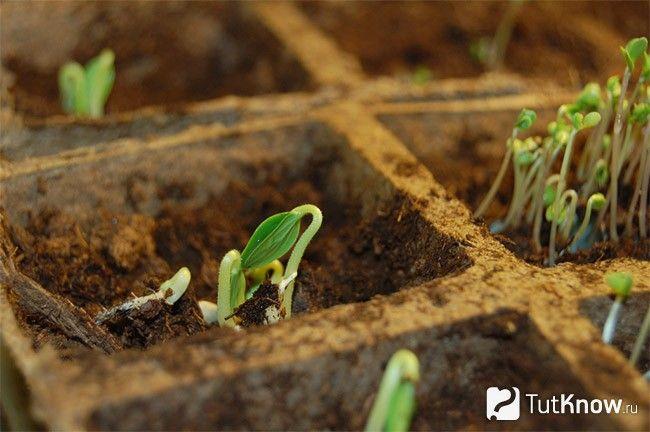 Посів насіння огірків на розсаду