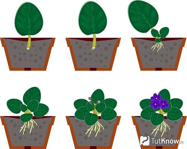 Ступені вирощування сенполії