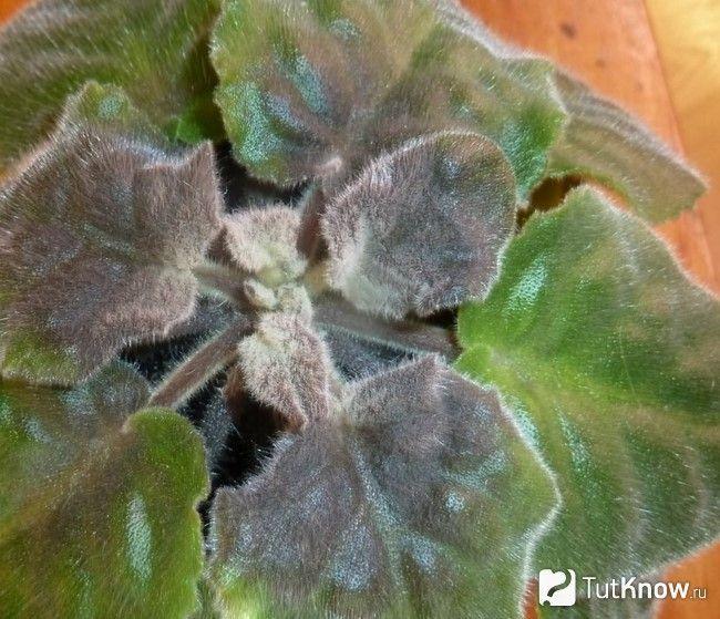 Сіра гниль на кімнатних рослинах