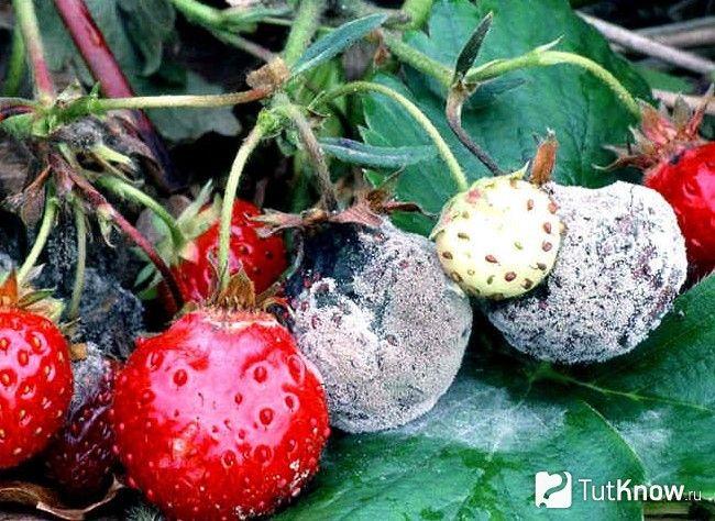 Сіра гниль полуниці