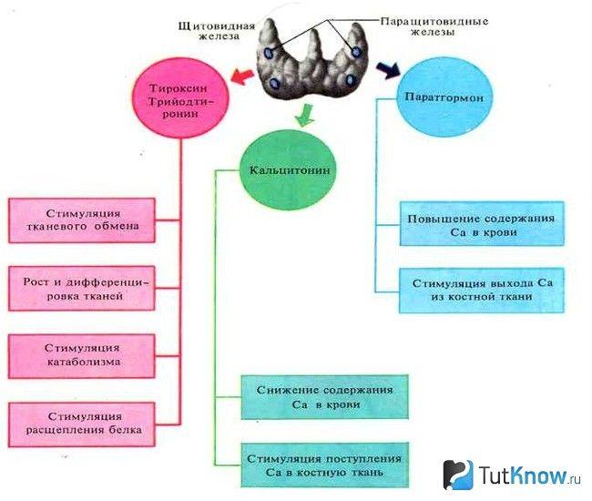 Схема функцій щитовидної і паращитовидних залоз