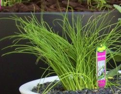 Шніт-цибуля, вирощування з насіння