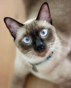 Сіамська кішка: особливості породи