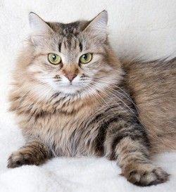 Сибірська кішка: особливості породи
