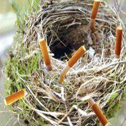 Сигаретні недопалки - будівельний матеріал пташиних гнізд