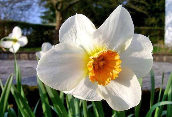 квітка нарциса