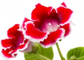 Синнінгия (глоксинія) - вирощування в домашніх умовах