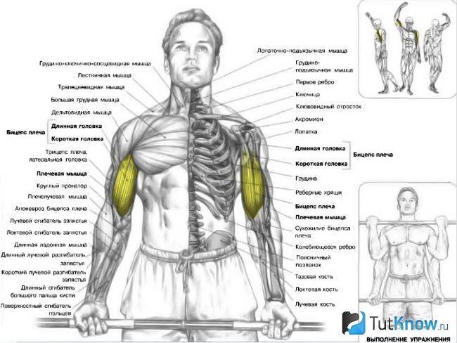 М`язи, задіяні при підйомі штанги на біцепс