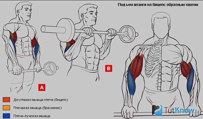 М`язи, задіяні при підйомі штанги на біцепс зворотним хватом
