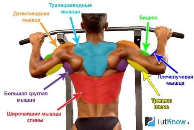 М`язи, задіяні при підтягуванні в негативній фазі
