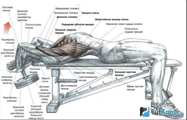М`язи, задіяні при виконанні пуловера