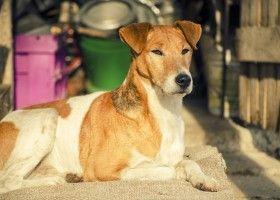 Собака породи фокстер`єр: опіcаніе, зовнішній стандарт, догляд