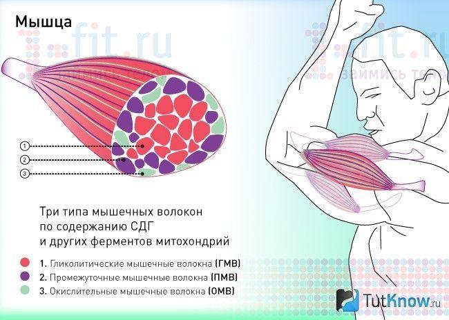 Схема будови м`язи