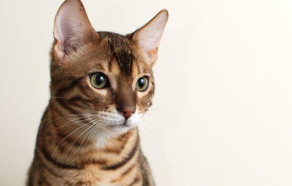 Зміст і догляд за кішками