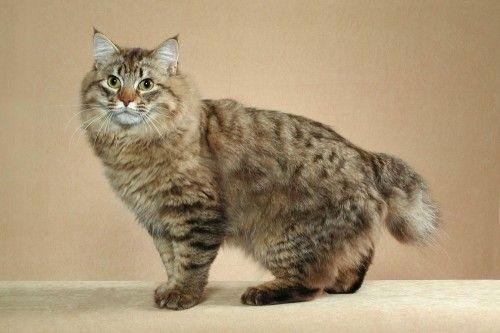 Зміст кішки породи бобтейл