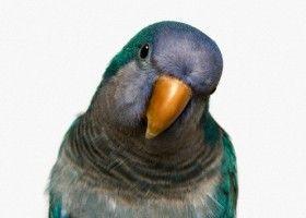 Зміст папуг: їжа і клітина