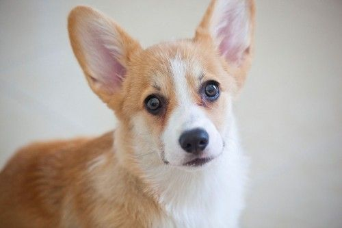 Утримання собак породи вельш-коргі