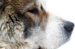 Зміст середньоазіатської вівчарки