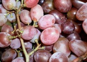 Сорт винограду вікторія: особливості вирощування