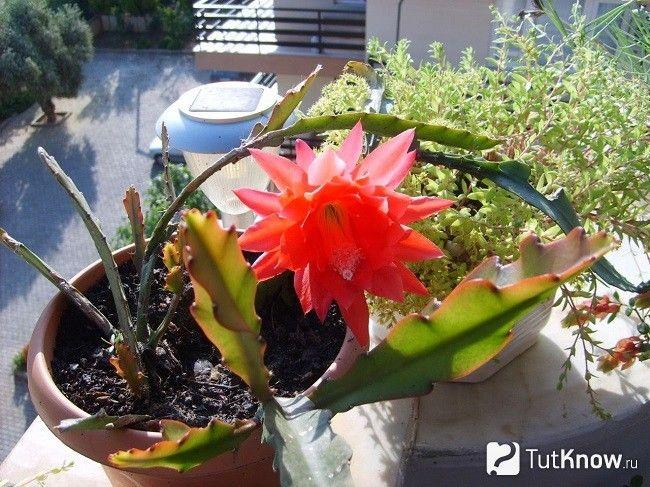 Епіфіллум цвіте