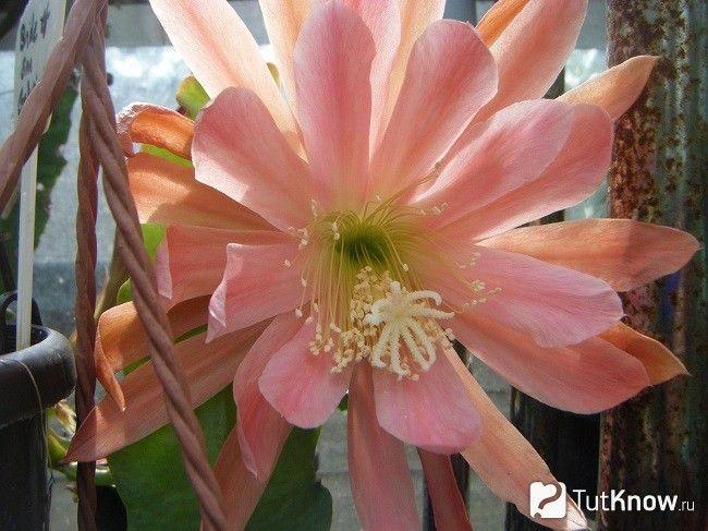 квітка епіфіллуми