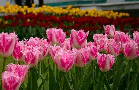 тюльпани з бахромою