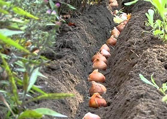 посадка тюльпанів у відкритому грунті