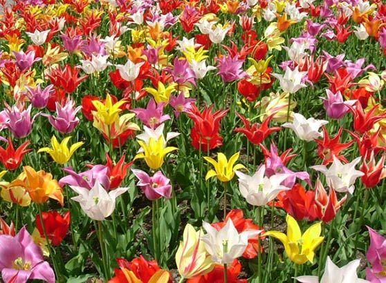 різнобарв`я тюльпанів