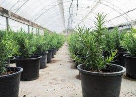 Тонкощі вирощування розмарину в приміщенні і відкритому грунті