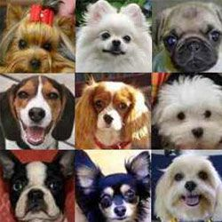 Топ 10 самих дрібних собак