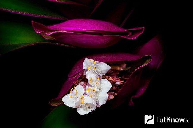 цвітіння рео